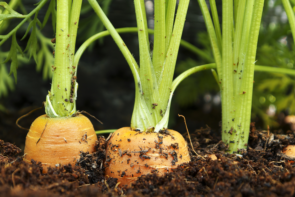 How Hydroponics Can Help You Grow Bulbs, Tubers, and Root Crops